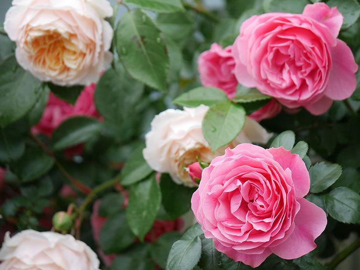 レオナルド・ダ・ヴィンチ(半ツルバラ)の花が満開になった。2020年-068.jpg