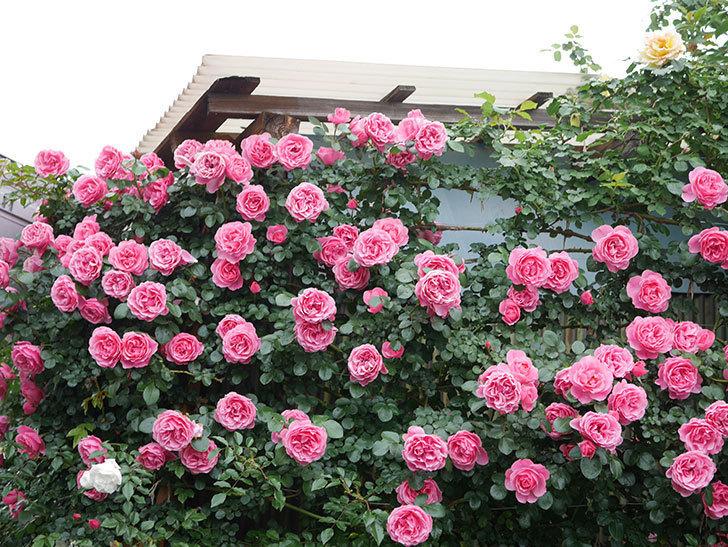 レオナルド・ダ・ヴィンチ(半ツルバラ)の花が満開になった。2020年-069.jpg