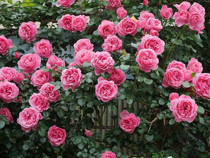 レオナルド・ダ・ヴィンチ(半ツルバラ)の花が満開になった。2020年-070.jpg