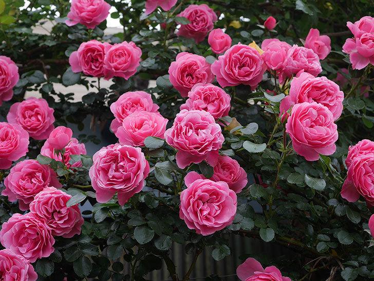 レオナルド・ダ・ヴィンチ(半ツルバラ)の花が満開になった。2020年-071.jpg