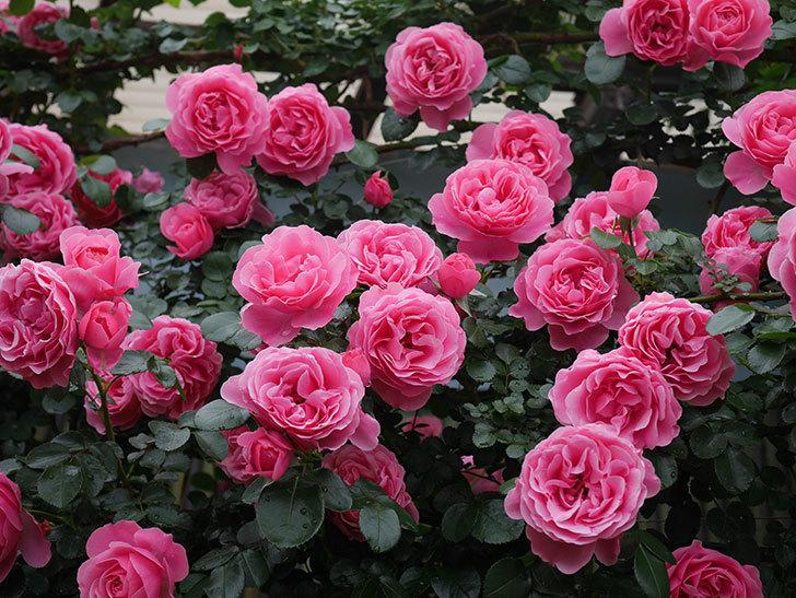 レオナルド・ダ・ヴィンチ(半ツルバラ)の花が満開になった。2020年-072.jpg
