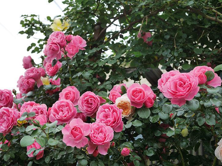 レオナルド・ダ・ヴィンチ(半ツルバラ)の花が満開になった。2020年-073.jpg