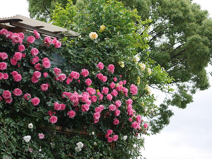 レオナルド・ダ・ヴィンチ(半ツルバラ)の花が満開になった。2020年-074.jpg