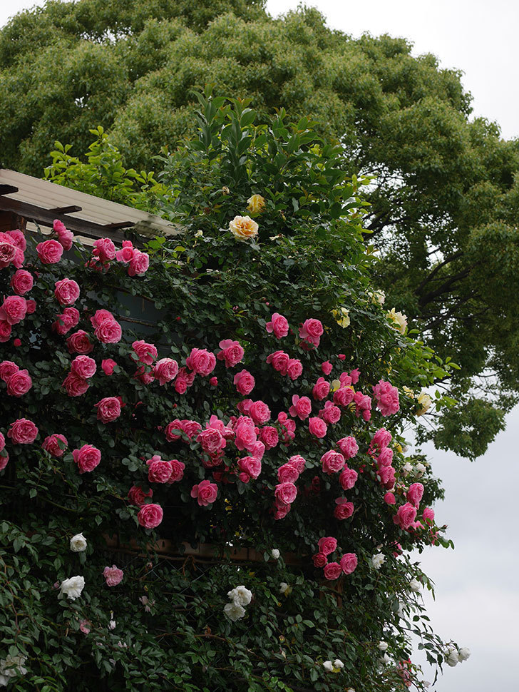 レオナルド・ダ・ヴィンチ(半ツルバラ)の花が満開になった。2020年-075.jpg