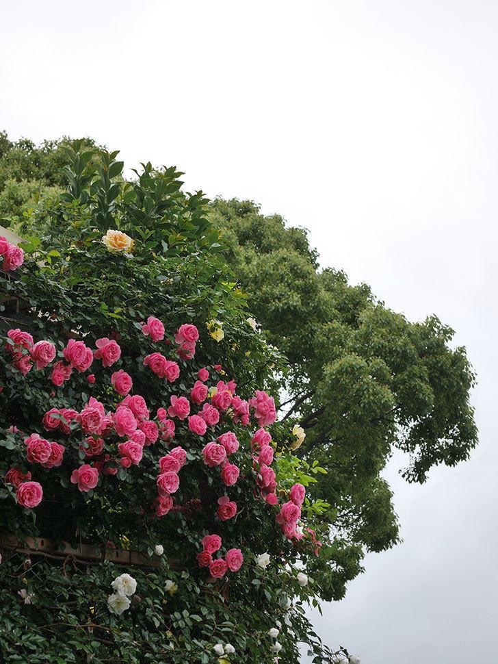 レオナルド・ダ・ヴィンチ(半ツルバラ)の花が満開になった。2020年-076.jpg
