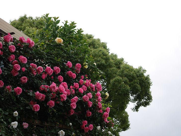 レオナルド・ダ・ヴィンチ(半ツルバラ)の花が満開になった。2020年-077.jpg