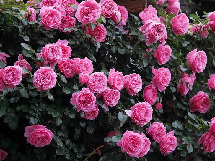 レオナルド・ダ・ヴィンチ(半ツルバラ)の花が退色してきた。2020年-001.jpg