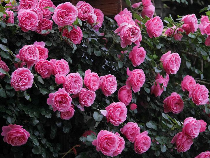 レオナルド・ダ・ヴィンチ(半ツルバラ)の花が退色してきた。2020年-002.jpg