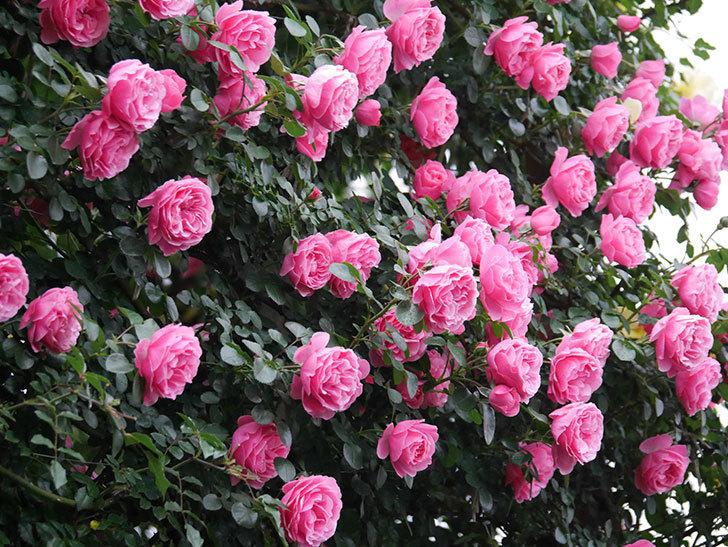 レオナルド・ダ・ヴィンチ(半ツルバラ)の花が退色してきた。2020年-003.jpg