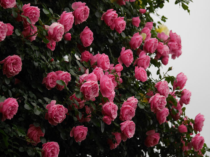 レオナルド・ダ・ヴィンチ(半ツルバラ)の花が退色してきた。2020年-004.jpg