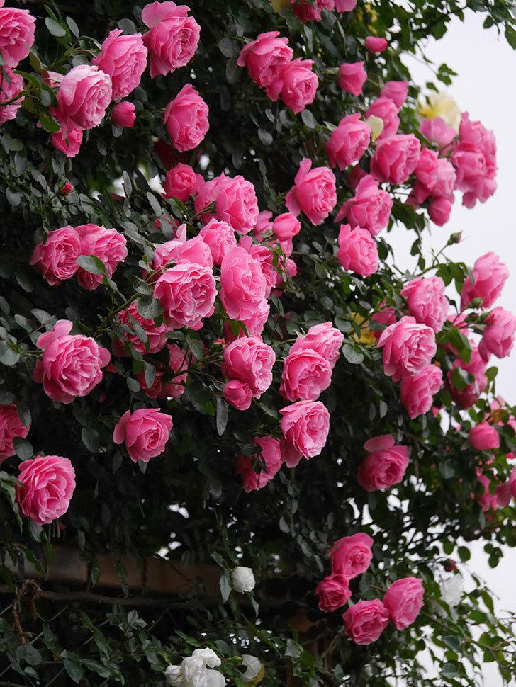 レオナルド・ダ・ヴィンチ(半ツルバラ)の花が退色してきた。2020年-005.jpg