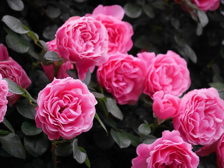 レオナルド・ダ・ヴィンチ(半ツルバラ)の花が退色してきた。2020年-006.jpg