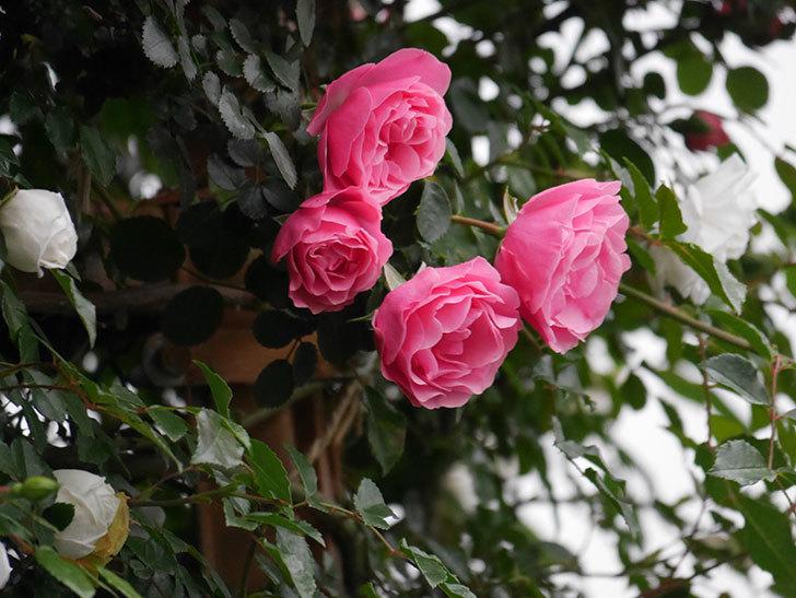 レオナルド・ダ・ヴィンチ(半ツルバラ)の花が退色してきた。2020年-007.jpg