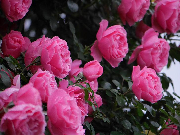 レオナルド・ダ・ヴィンチ(半ツルバラ)の花が退色してきた。2020年-008.jpg