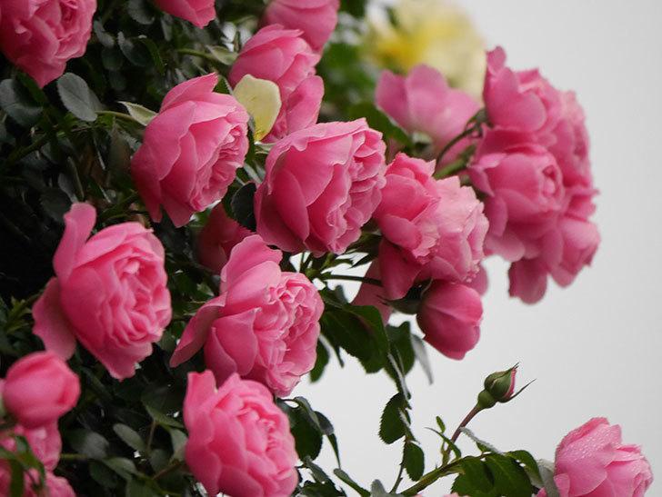 レオナルド・ダ・ヴィンチ(半ツルバラ)の花が退色してきた。2020年-009.jpg