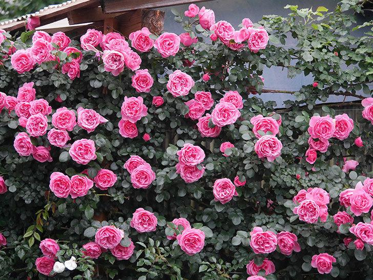 レオナルド・ダ・ヴィンチ(半ツルバラ)の花が退色してきた。2020年-010.jpg