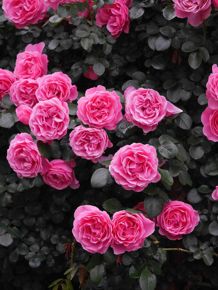 レオナルド・ダ・ヴィンチ(半ツルバラ)の花が退色してきた。2020年-013.jpg