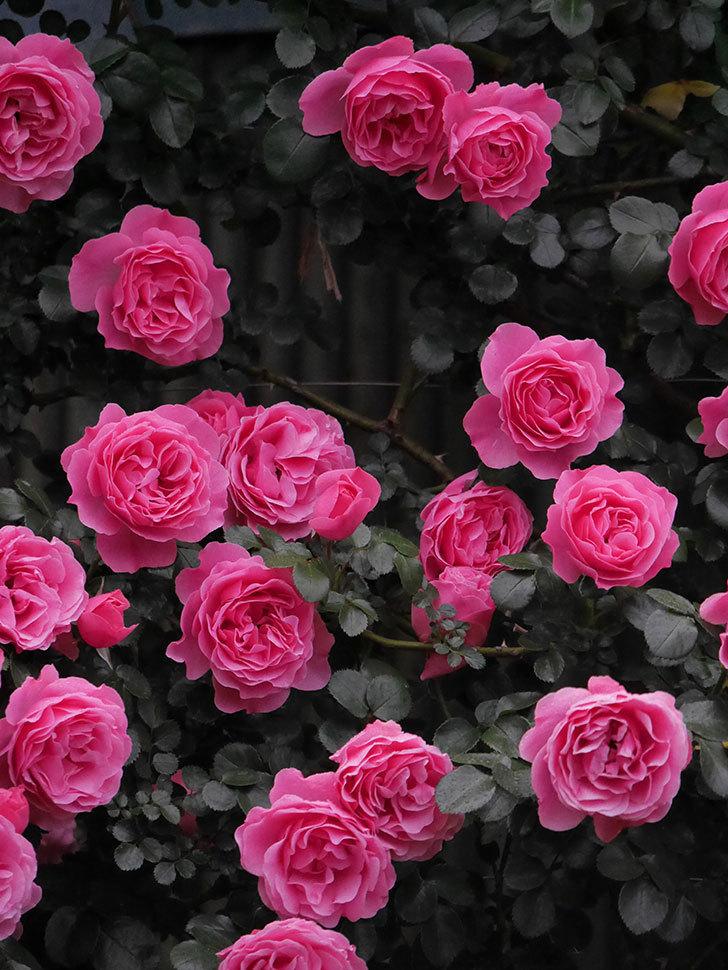 レオナルド・ダ・ヴィンチ(半ツルバラ)の花が退色してきた。2020年-014.jpg