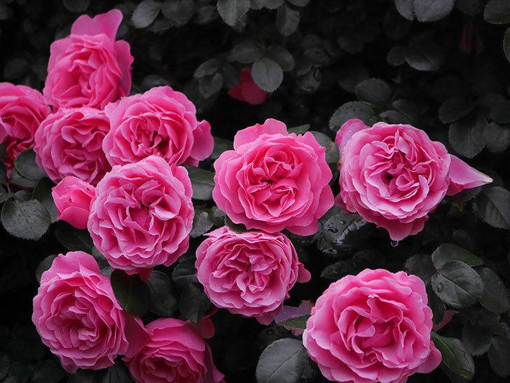 レオナルド・ダ・ヴィンチ(半ツルバラ)の花が退色してきた。2020年-015.jpg