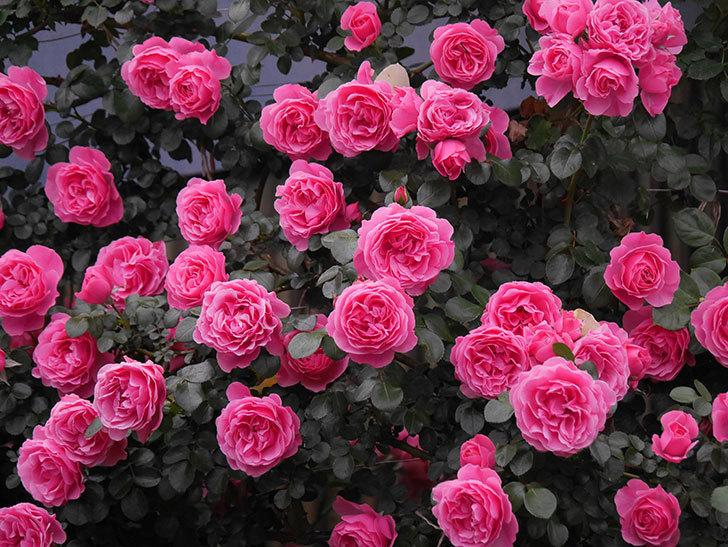 レオナルド・ダ・ヴィンチ(半ツルバラ)の花が退色してきた。2020年-019.jpg