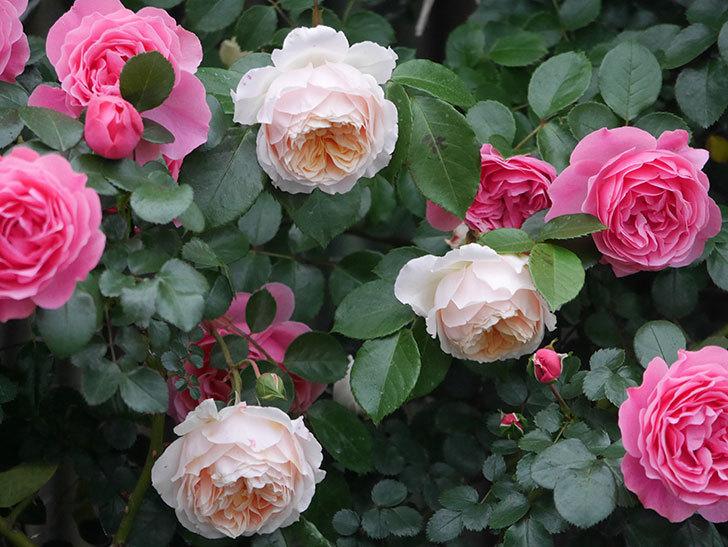レオナルド・ダ・ヴィンチ(半ツルバラ)の花が退色してきた。2020年-020.jpg