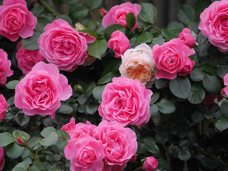 レオナルド・ダ・ヴィンチ(半ツルバラ)の花が退色してきた。2020年-021.jpg