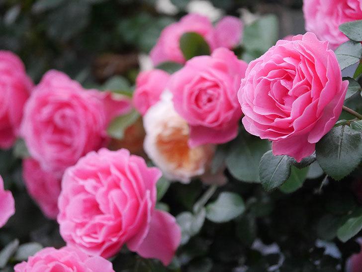 レオナルド・ダ・ヴィンチ(半ツルバラ)の花が退色してきた。2020年-022.jpg