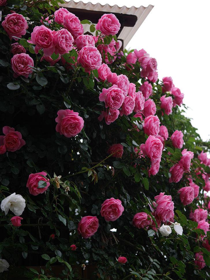 レオナルド・ダ・ヴィンチ(半ツルバラ)の花が退色してきた。2020年-023.jpg