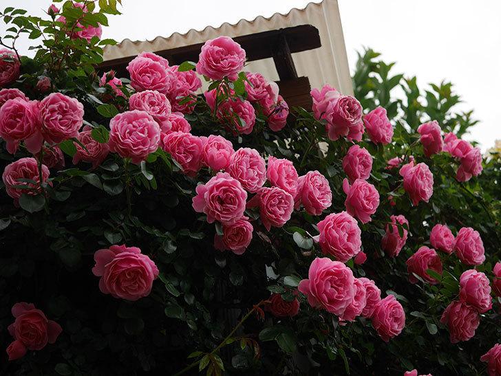 レオナルド・ダ・ヴィンチ(半ツルバラ)の花が退色してきた。2020年-024.jpg