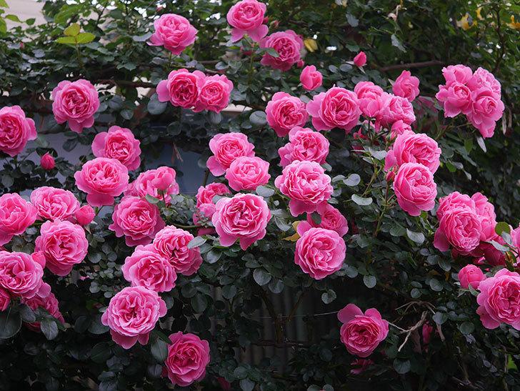 レオナルド・ダ・ヴィンチ(半ツルバラ)の花が退色してきた。2020年-025.jpg