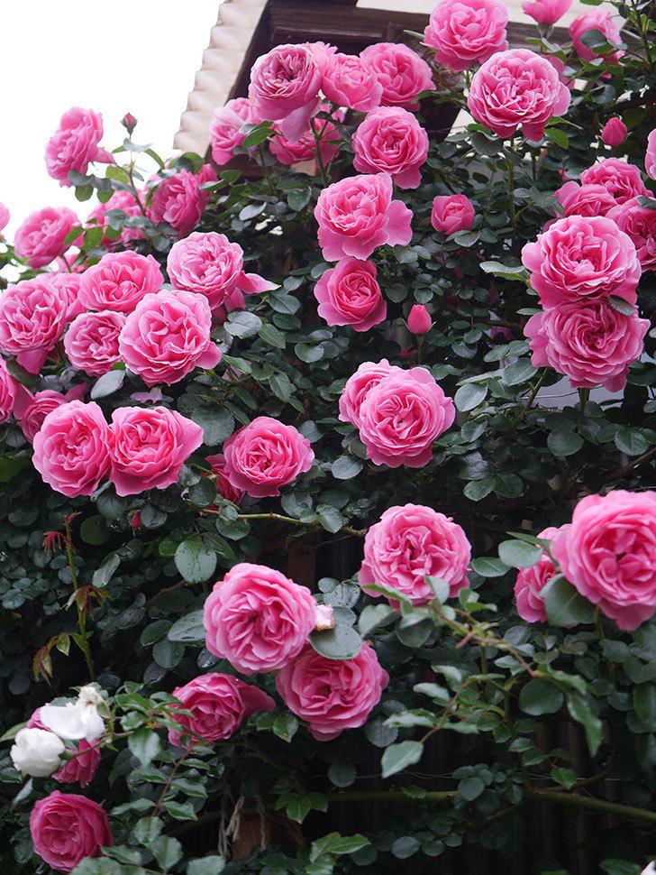 レオナルド・ダ・ヴィンチ(半ツルバラ)の花が退色してきた。2020年-026.jpg