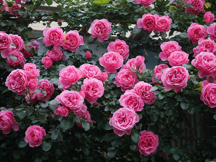 レオナルド・ダ・ヴィンチ(半ツルバラ)の花が退色してきた。2020年-027.jpg