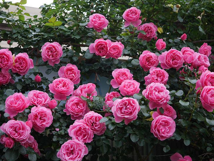 レオナルド・ダ・ヴィンチ(半ツルバラ)の花が退色してきた。2020年-028.jpg