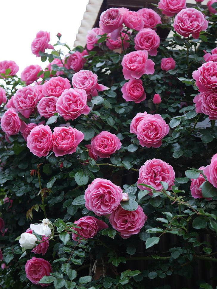レオナルド・ダ・ヴィンチ(半ツルバラ)の花が退色してきた。2020年-029.jpg