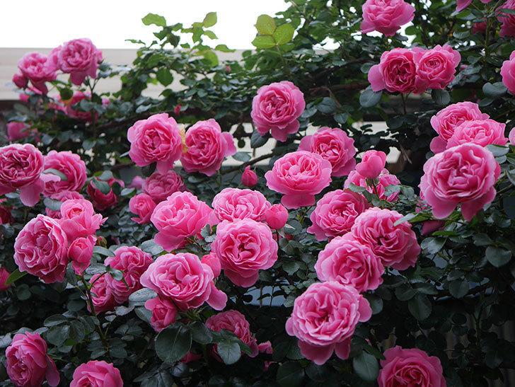 レオナルド・ダ・ヴィンチ(半ツルバラ)の花が退色してきた。2020年-030.jpg