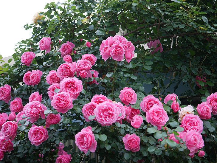 レオナルド・ダ・ヴィンチ(半ツルバラ)の花が退色してきた。2020年-031.jpg