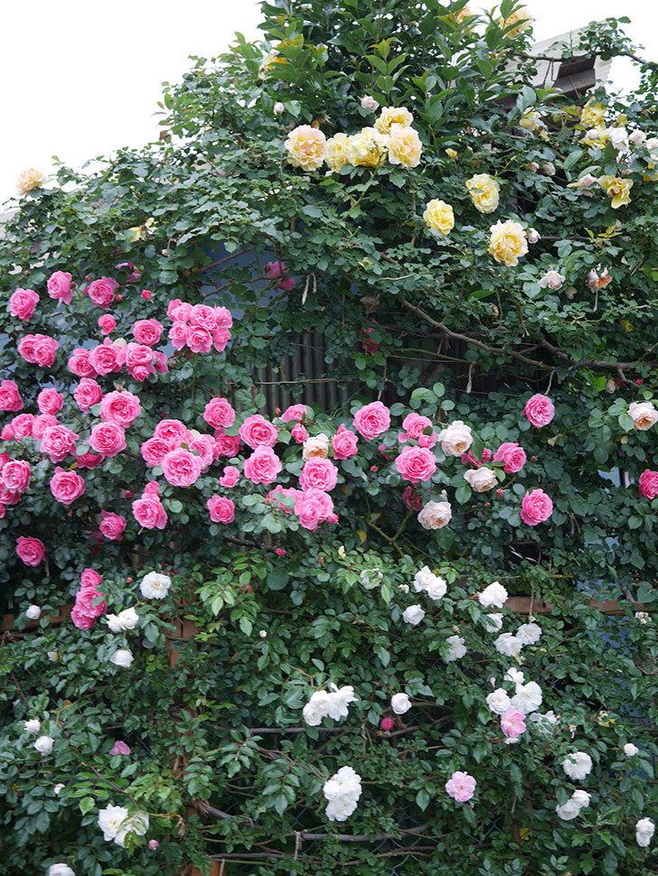 レオナルド・ダ・ヴィンチ(半ツルバラ)の花が退色してきた。2020年-032.jpg
