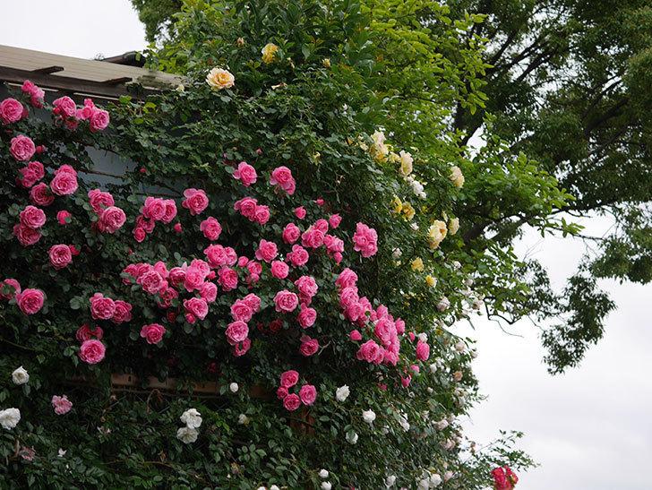 レオナルド・ダ・ヴィンチ(半ツルバラ)の花が退色してきた。2020年-034.jpg