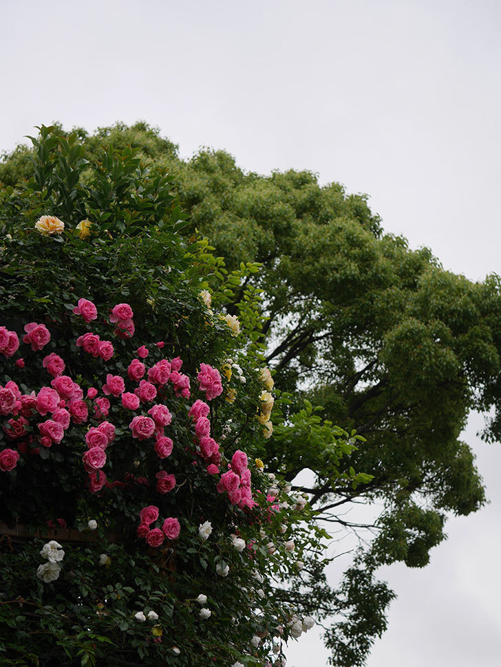 レオナルド・ダ・ヴィンチ(半ツルバラ)の花が退色してきた。2020年-035.jpg