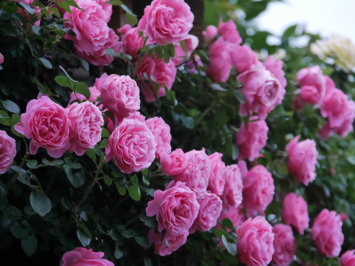 レオナルド・ダ・ヴィンチ(半ツルバラ)の花が退色してきた。2020年-036.jpg