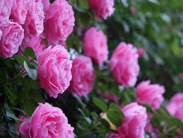 レオナルド・ダ・ヴィンチ(半ツルバラ)の花が退色してきた。2020年-037.jpg