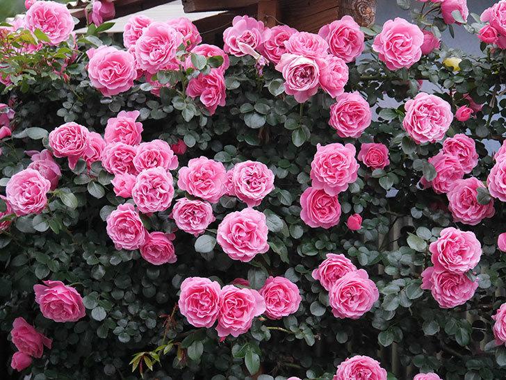 レオナルド・ダ・ヴィンチ(半ツルバラ)の花が退色してきた。2020年-038.jpg