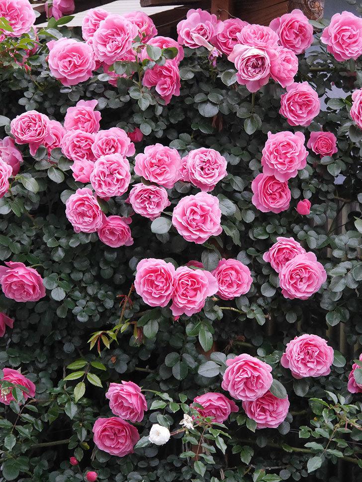 レオナルド・ダ・ヴィンチ(半ツルバラ)の花が退色してきた。2020年-039.jpg