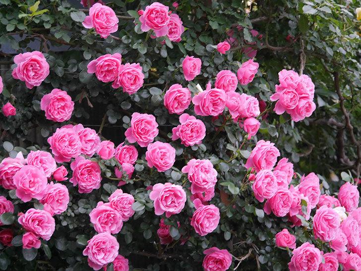 レオナルド・ダ・ヴィンチ(半ツルバラ)の花が退色してきた。2020年-040.jpg