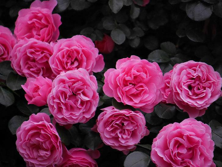 レオナルド・ダ・ヴィンチ(半ツルバラ)の花が退色してきた。2020年-041.jpg