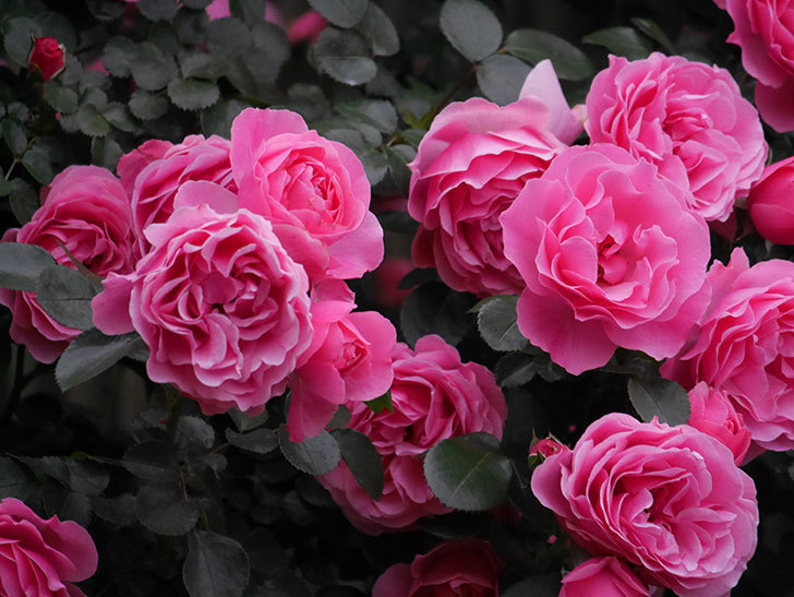 レオナルド・ダ・ヴィンチ(半ツルバラ)の花が退色してきた。2020年-042.jpg