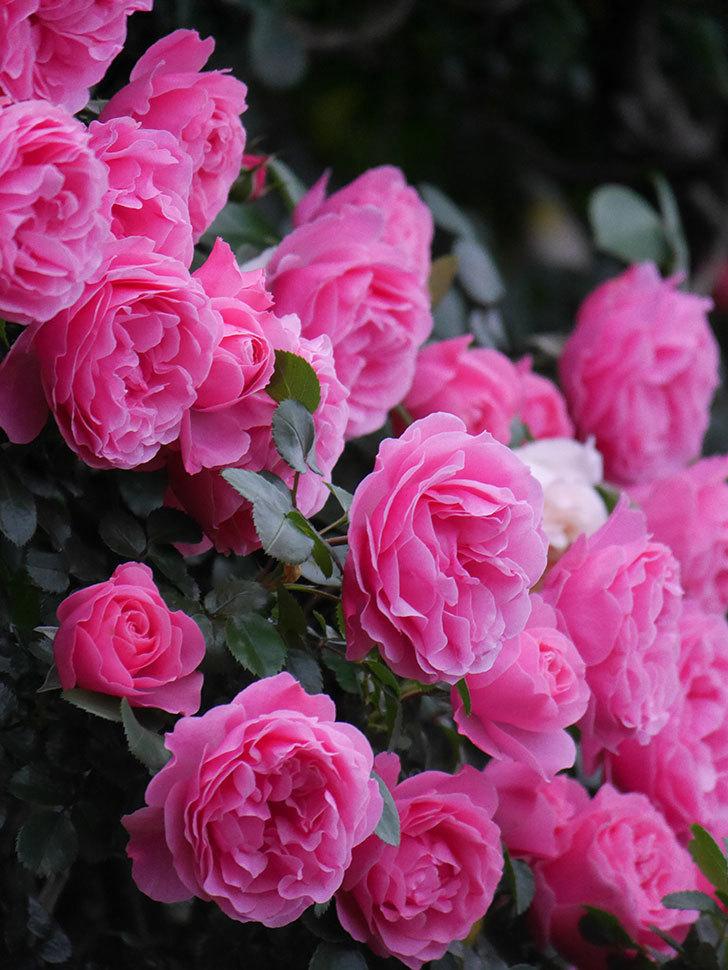 レオナルド・ダ・ヴィンチ(半ツルバラ)の花が退色してきた。2020年-043.jpg