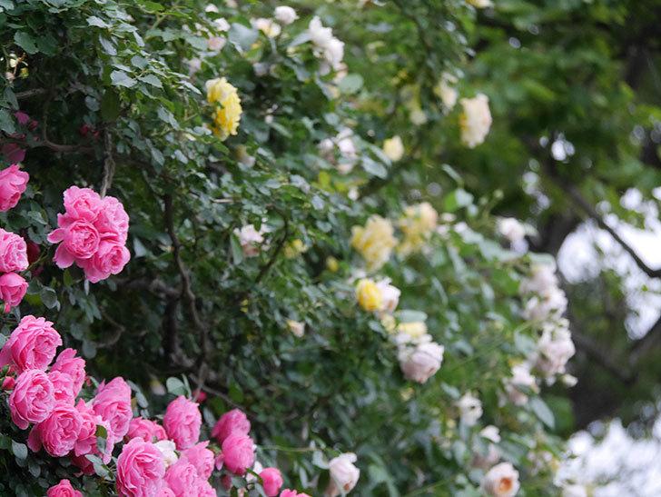 レオナルド・ダ・ヴィンチ(半ツルバラ)の花が退色してきた。2020年-044.jpg