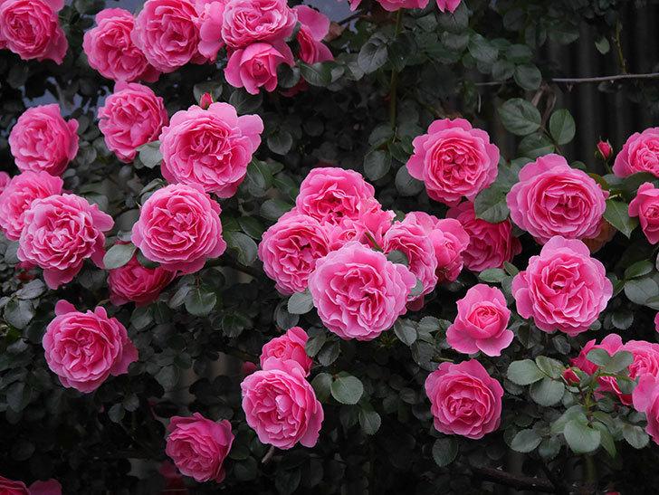 レオナルド・ダ・ヴィンチ(半ツルバラ)の花が退色してきた。2020年-045.jpg