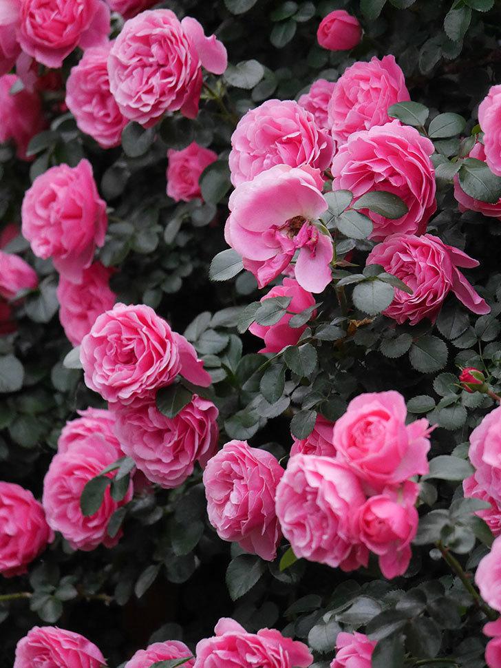 レオナルド・ダ・ヴィンチ(半ツルバラ)の花が退色してきた。2020年-046.jpg